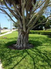 Many Roots Tree
