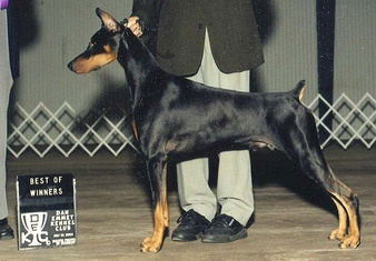 Krimson Doberman Accomplishment
