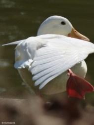 White Duck I