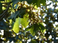 Winged Fruits of a Maple Tree