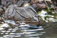 Frog Prince II