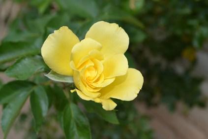 Lily 8-8b