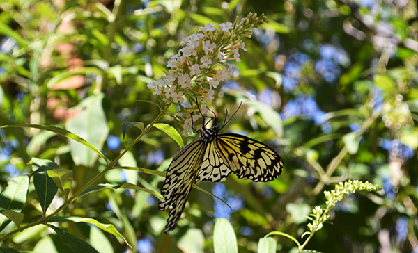 Butterfly 15B