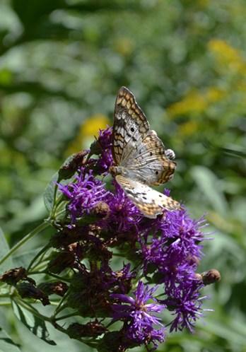 Butterfly 5B