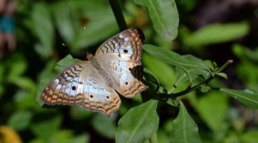 Butterfly 8B