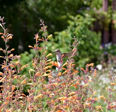 Hummingbird B