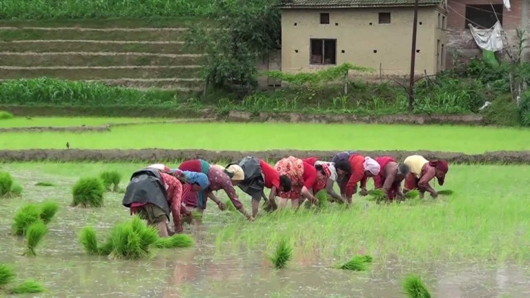 NUTRIENT MANAGEMENT: INTEGRATING ORGANIC AND INORGANIC FERTILIZER IN RICE FIELD