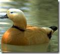 Chakravaka bird