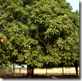 [mango tree]