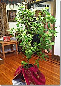 [Tulasi plant]