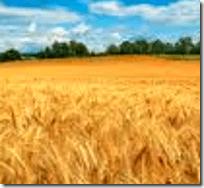 [wheat field]