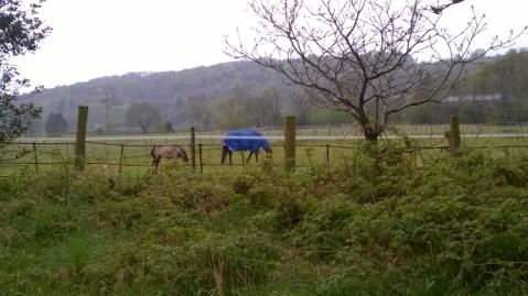 Angļu zirgs zolīdā mētelī