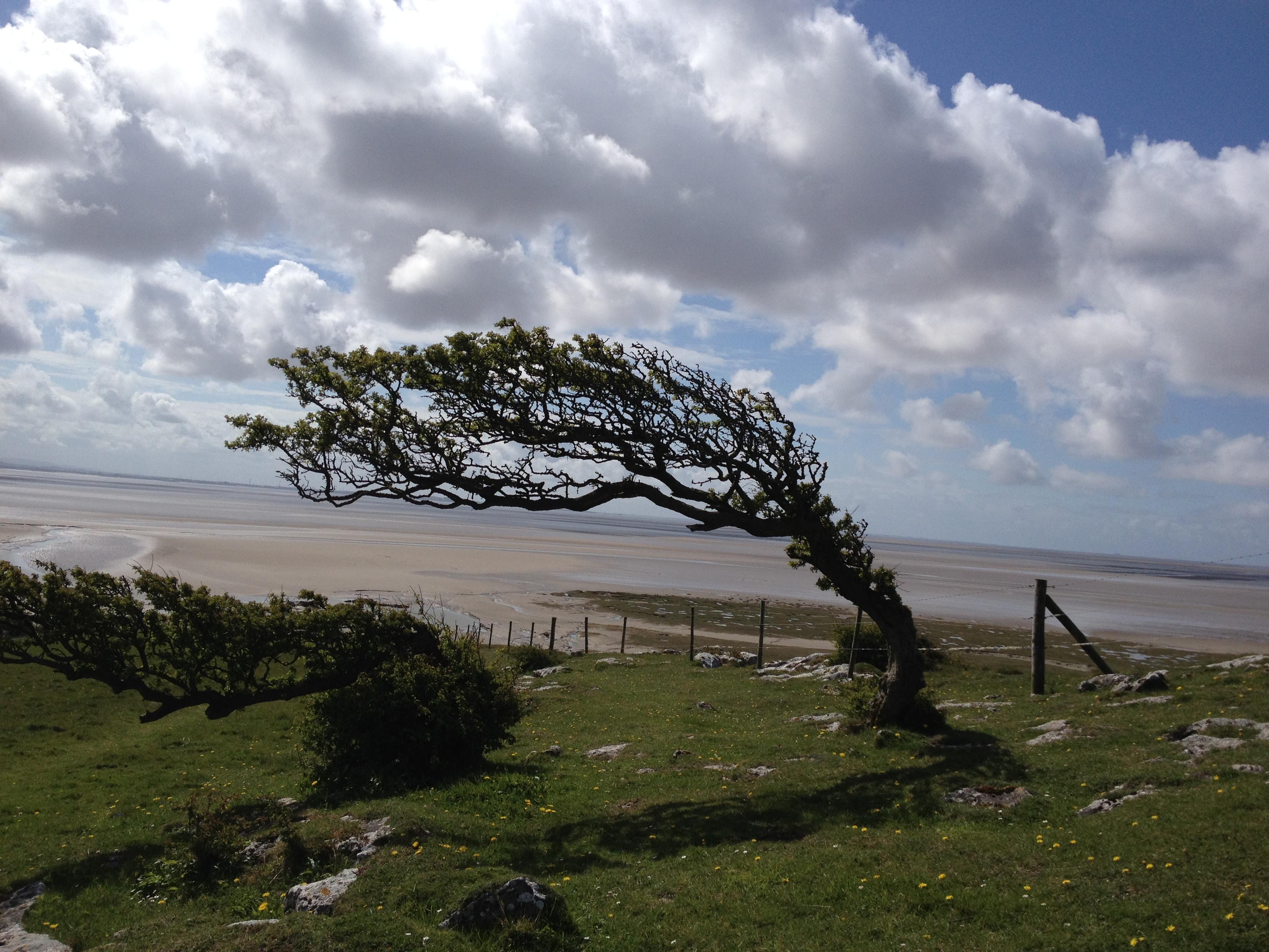 Pastāvīgais rietumu vējš noliecis visus nelielos kokus uz vienu pusi