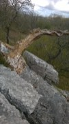 Klintī iekaļķojies koks