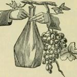 Sour_Grapes