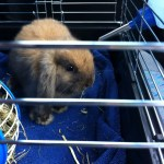 Baby Kaylee rabbit in carry cage
