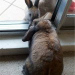 Rabbits sniffing each other at balcony door