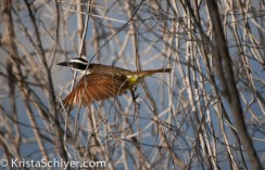 72a. A great kiskadee in the Santa Ana National Wildlife Refuge.