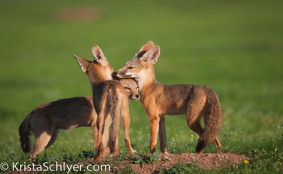 Kit foxes in Janos grassland, Mexico.