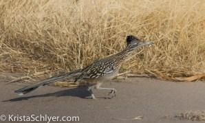 Roadrunner in Big Bend National Park