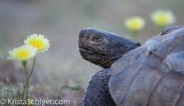 Desert tortoise in Joshua Tree NP