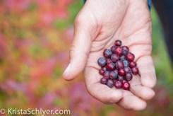 Huckleberries in proposed wilderness, Clearwater basin, Idaho