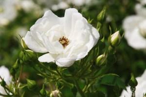 Deering Oaks Rose Circle: White