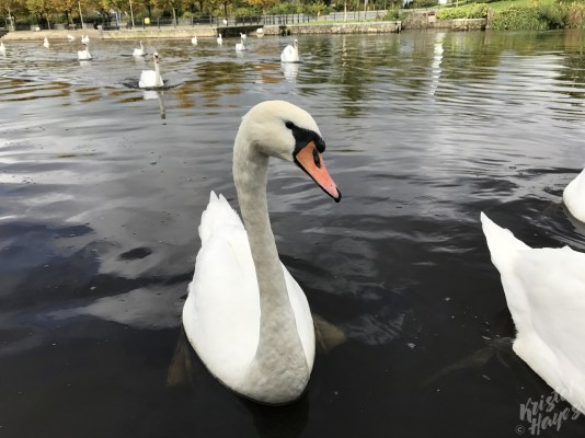 Curious Carlow Swans-Barrow River, Ireland