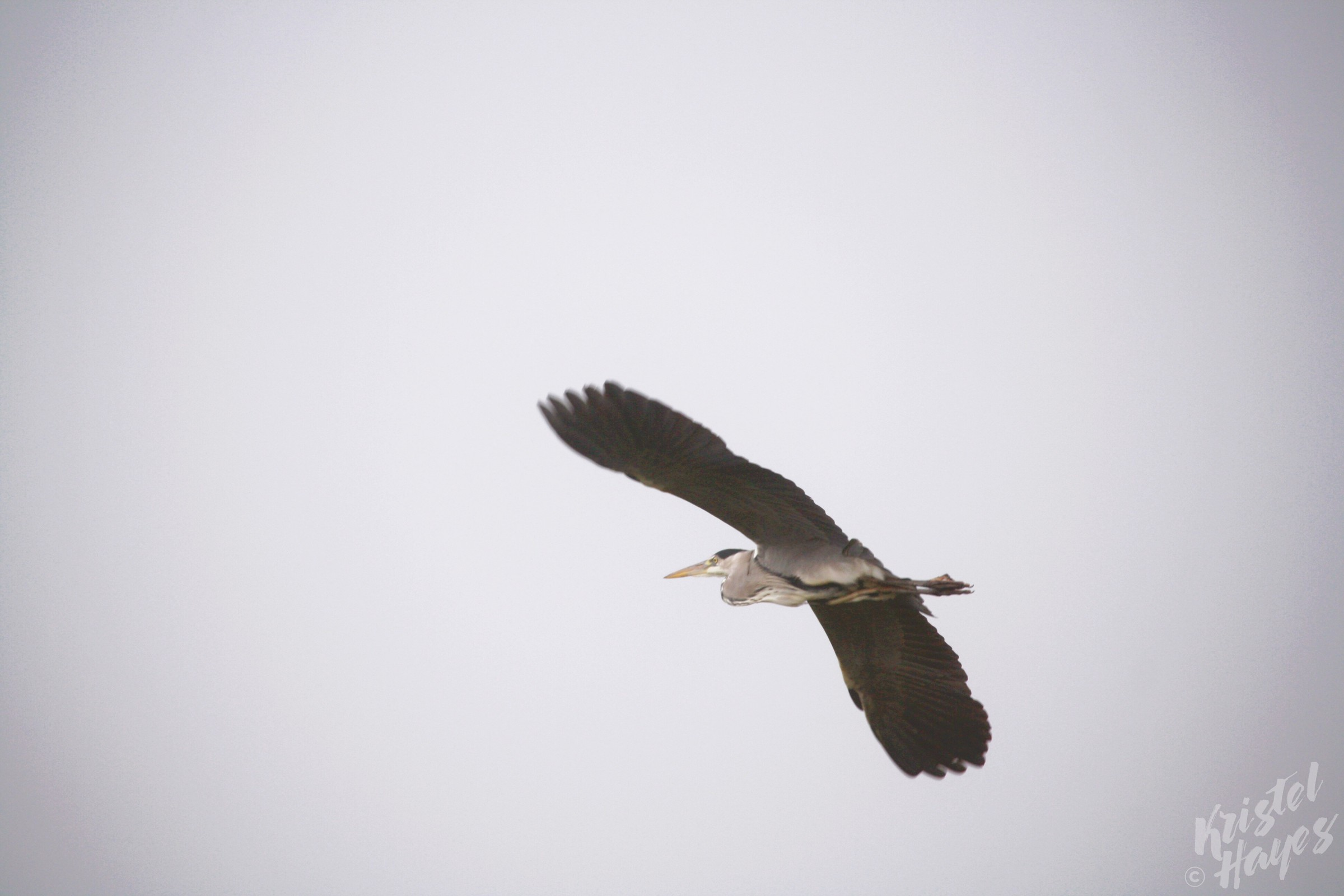 Heron Flying Above River Barrow, Ireland