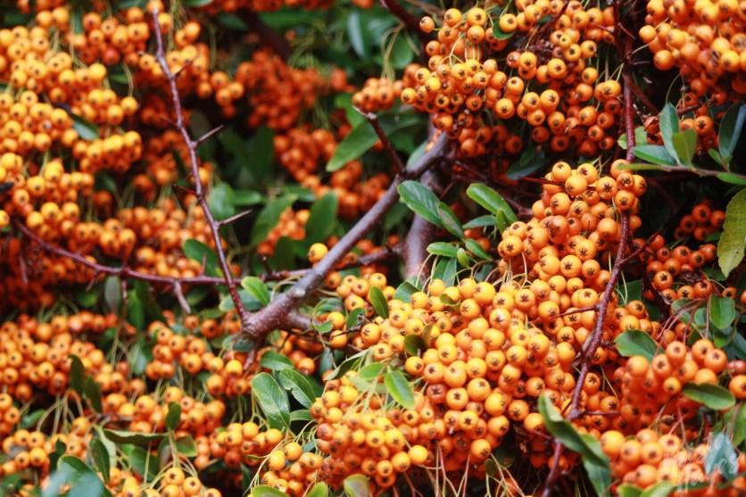Orange Berries-Gardens at Royal Hospital Kilmainham, Dublin