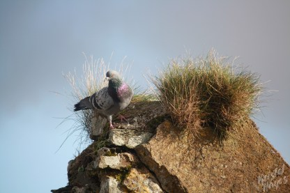 Pigeon Atop Crumbling Charles Fort-Kinsale, Ireland