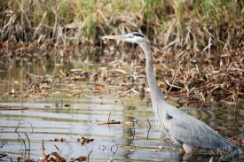 NOLA | Swamp Tour | Great Blue Heron