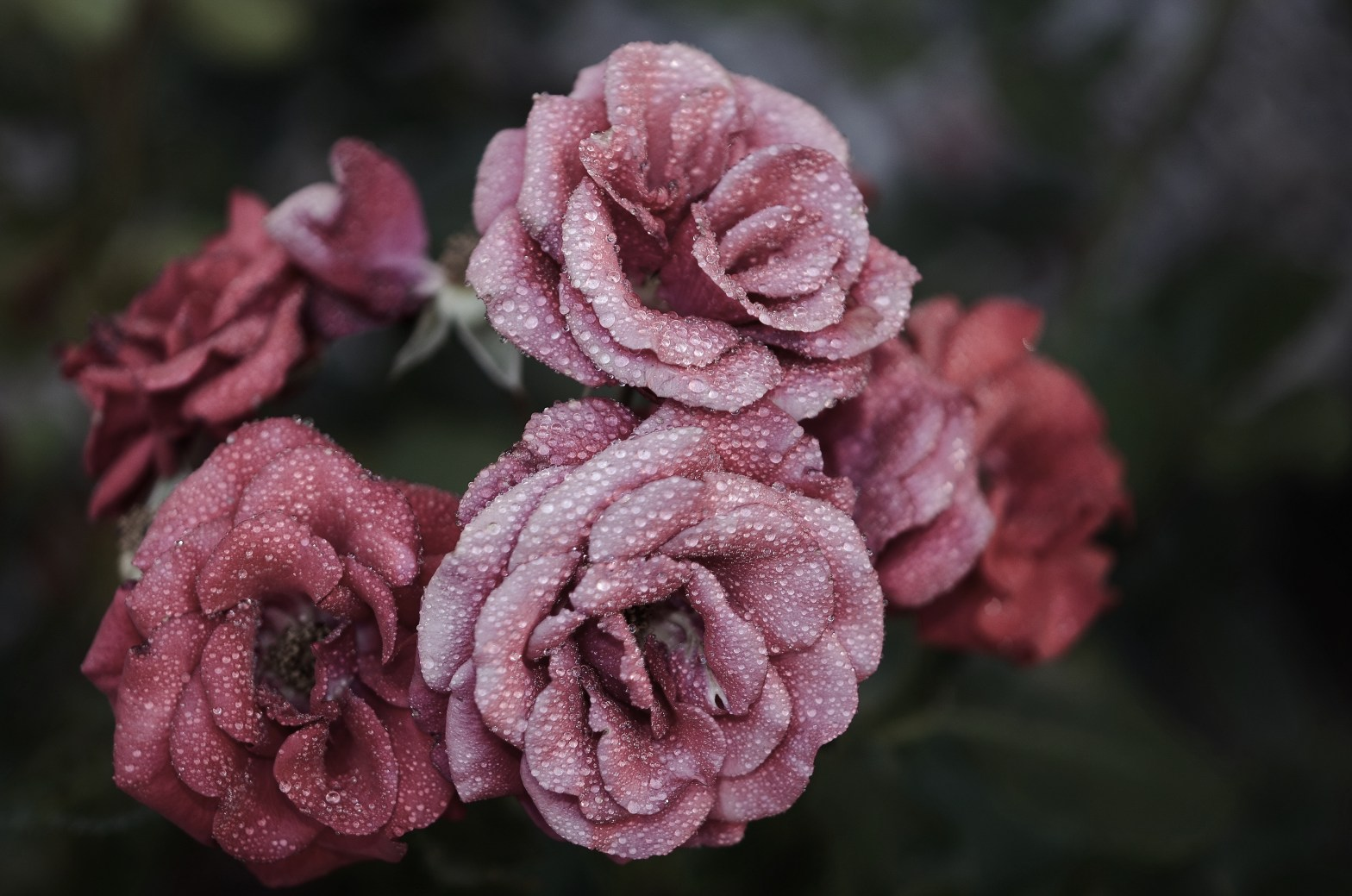 A close-up photograph of dusty red roses bejeweled in dew droplets.