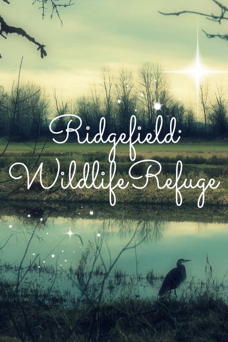 Ridgefield Wildlife Refuge- Birding from the comfort of your own car.  Just north of Portland, OR   kristidoespdx.com