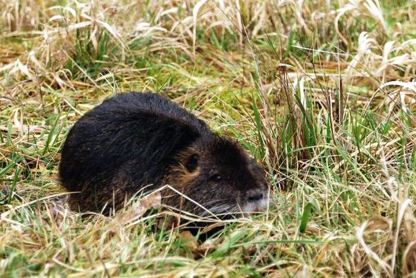 Ridge field nutria