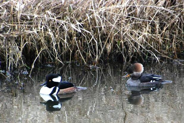 Ridgefield duck pair2