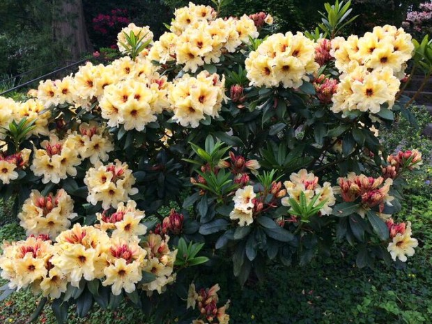 Rhododendron yellow bush