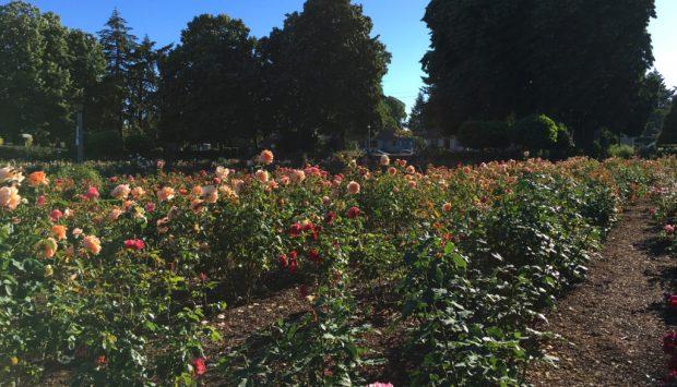 Peninsula Park Rose Garden roses