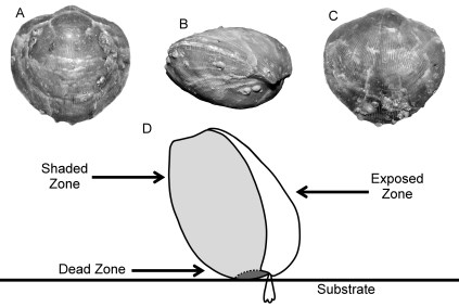 Determining the life orientation of a brachiopod host. Fig. 3 (Barclay et al. 2015b)