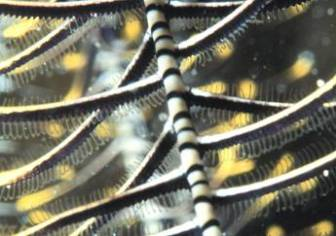 Crinoid arm close up. Image credit: http://cnso.nova.edu/messing/crinoids/9%20Feeding%20postures.html