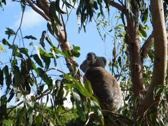 Koalas on North Stradbroke Island