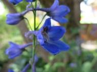 Blå riddarsporre