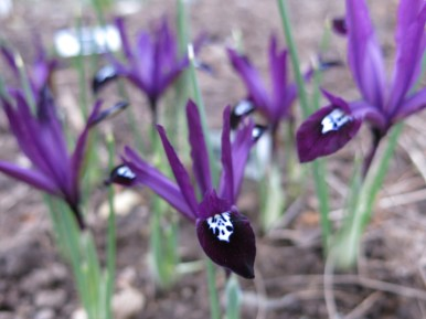 våriris 'Purple gem'