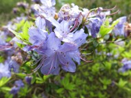 17 maj 15 Sofiero Blue tit