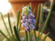 12 mars 16 pärlhyacint