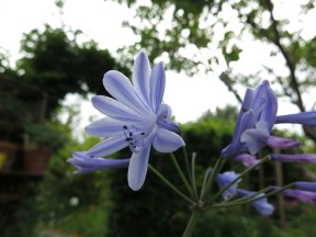 1 sep 16 afrikas blå lilja - kopia
