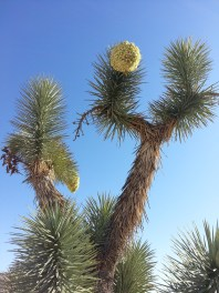 Looking up at an impressive and beautiful Joshua Tree.