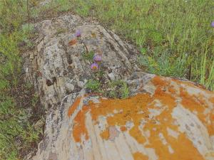 Lichens and asters on rock