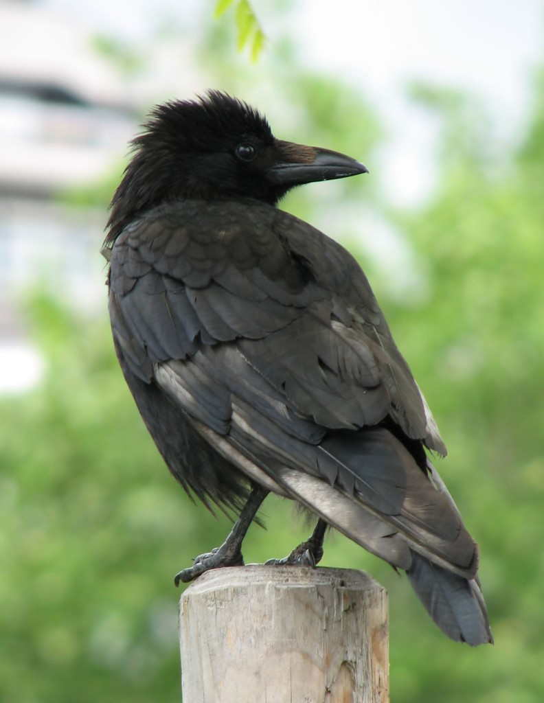 photo of a crow, taken by Danny Chapman