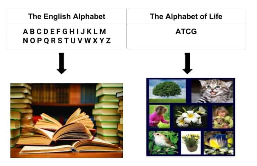 The English alphabet is made up of 26 characters (letters).  The alphabet of life (DNA) is made up of only 4 characters, known as nucleotides.